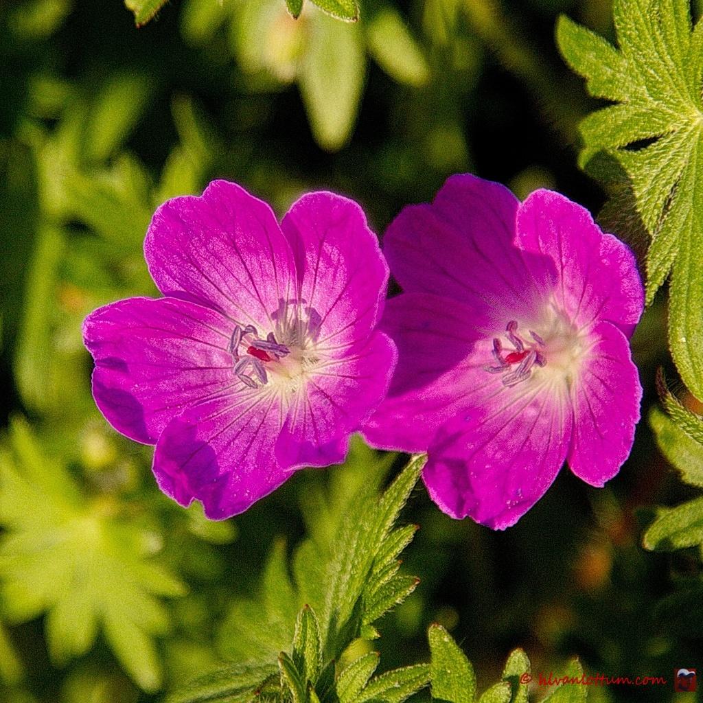 Bloedooievaarsbek - geranium sanguineum