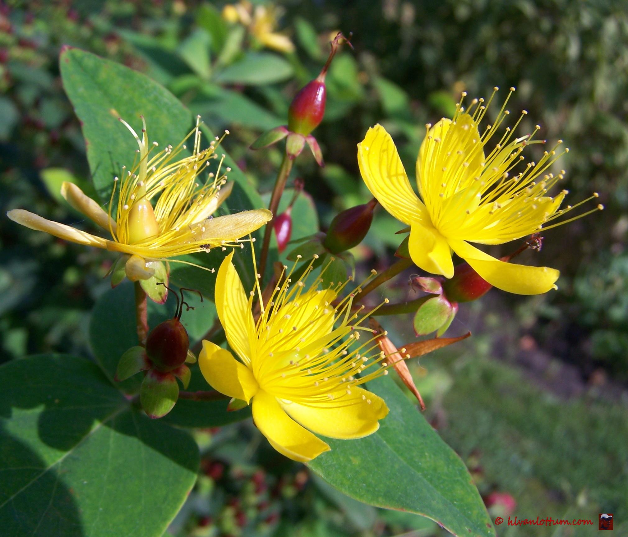 Mansbloed - hypericum androsaemum