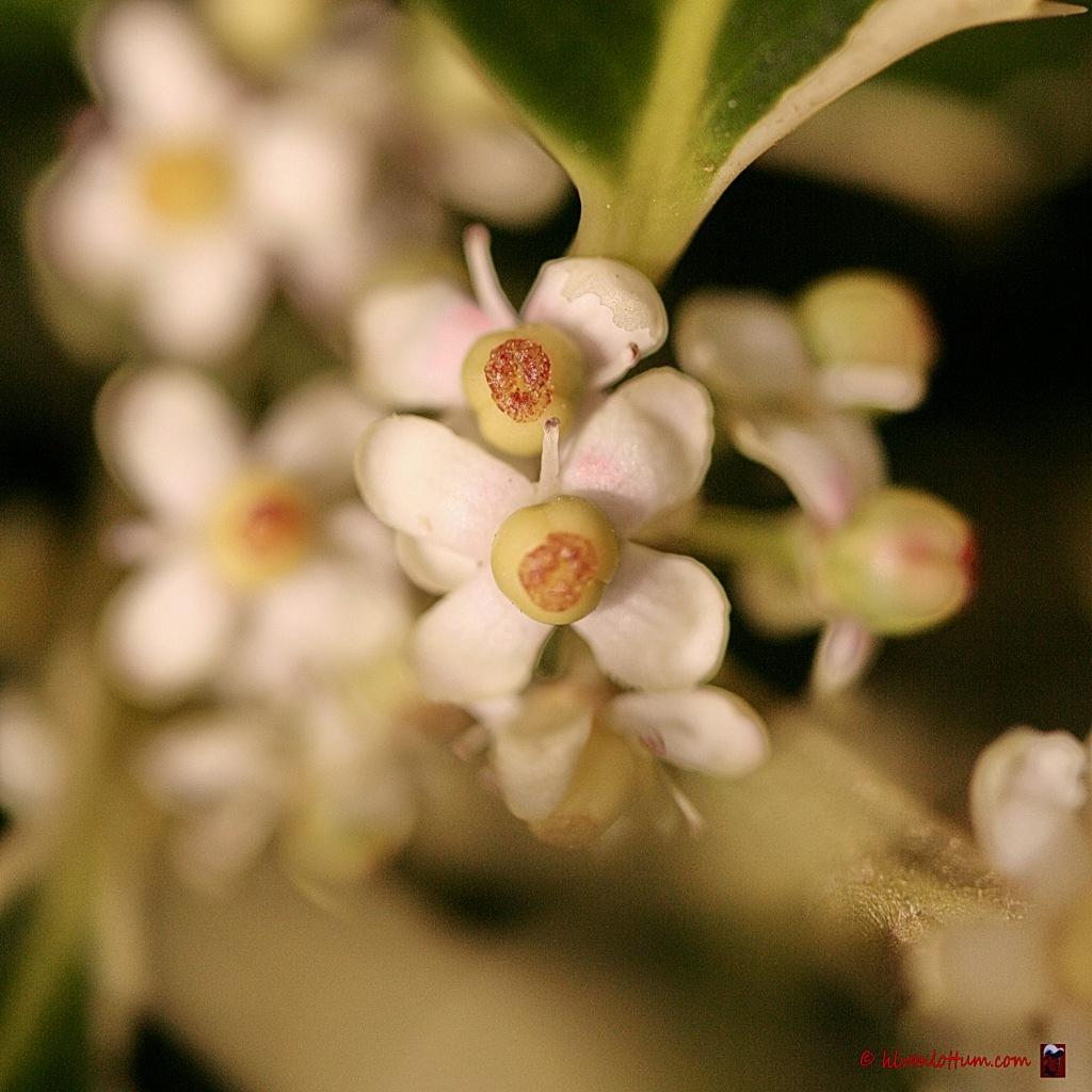 Hulst - ilex quifolium Madame Briot