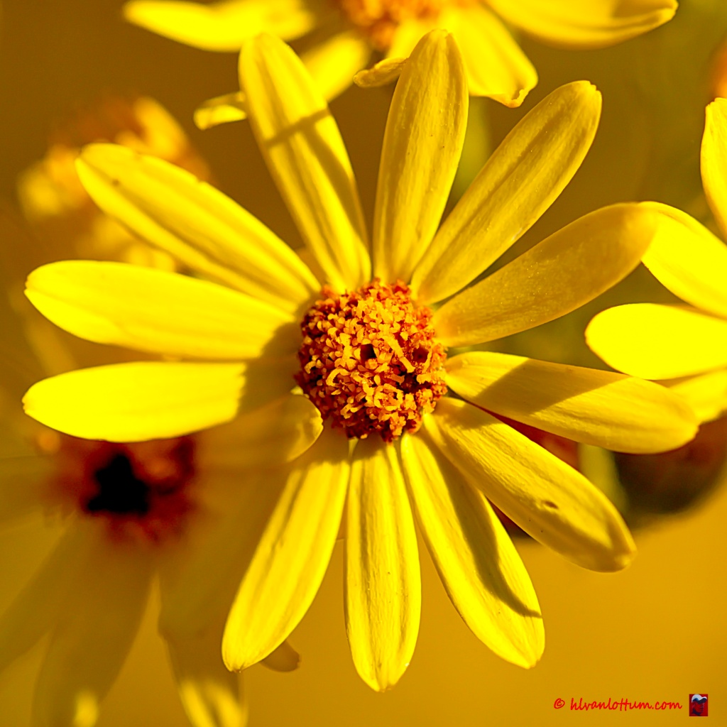 Jakobskruiskruid - jacobea vulgaris vulgaris