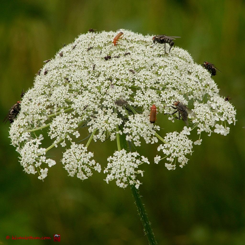 Land van overvloed - insecten op wilde peen