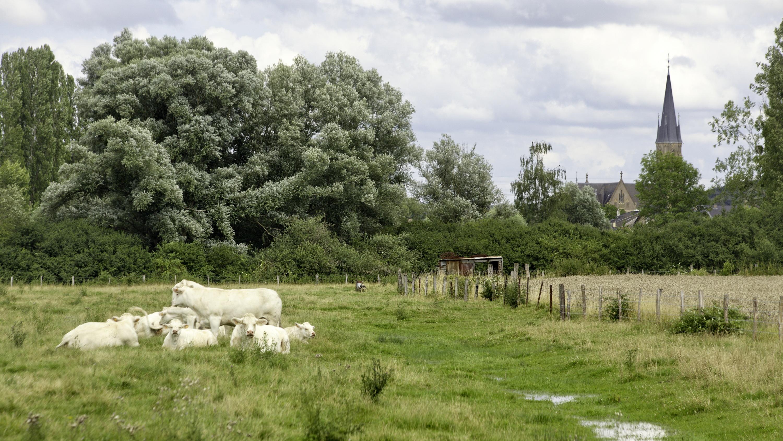 Een hoop koeien - Basse Ham, Frankrijk