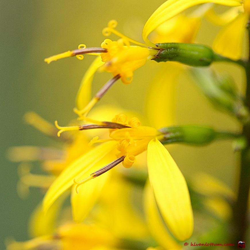 Ligularia stenocephala