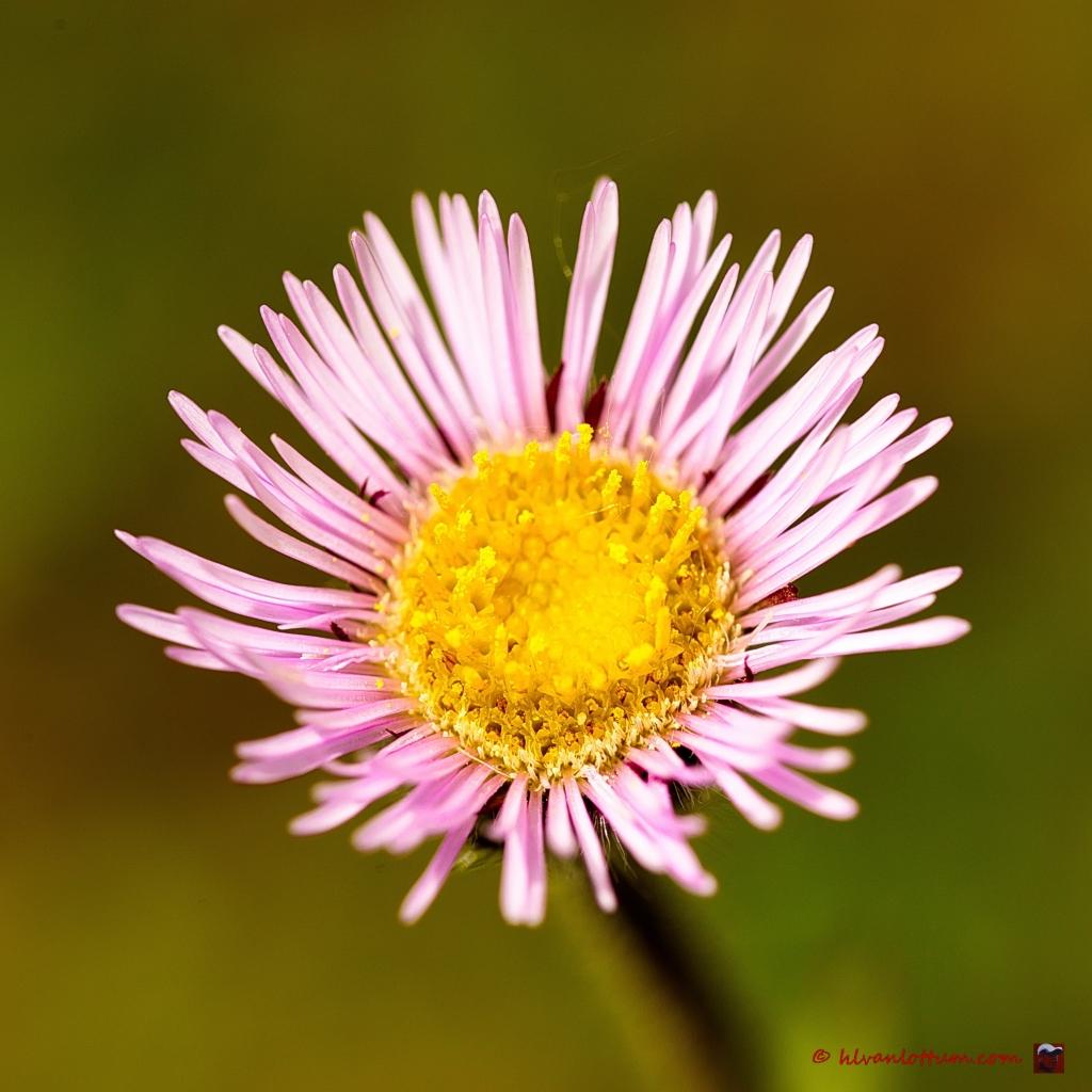 Eénbloemige fijnstraal - erigeron uniflora